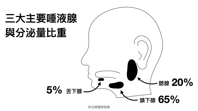 雖然腮腺是最大的,但頷下腺才是口水分泌最多的唾液腺喔!